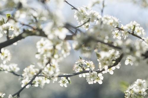 Fleurs de prunier d'Ente