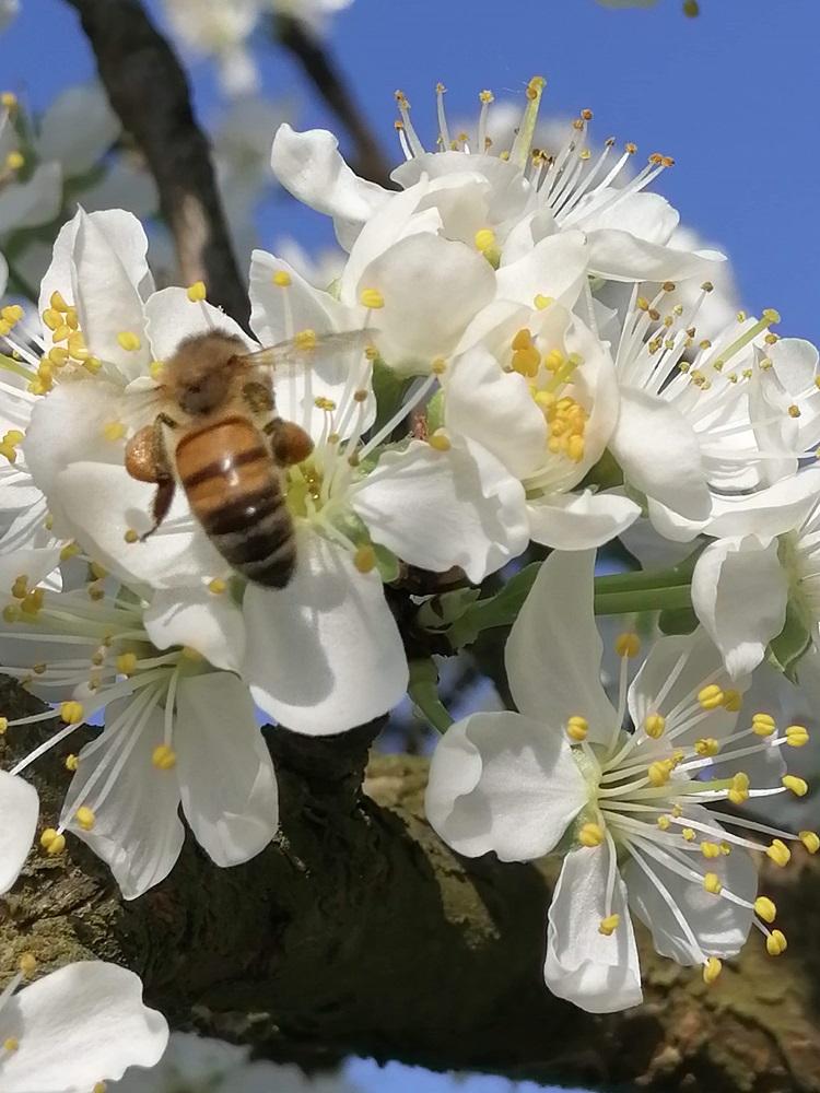 Fleurs de prunier abeille